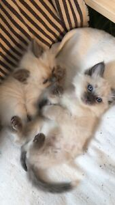 Ragdoll male kittens- seal and blue point