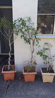 3 fig trees in pots
