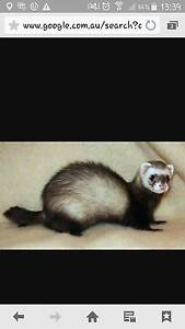 FERRET FEMALE MASKED SABLE Bligh Park Hawkesbury Area Preview
