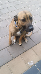 Kaluah staffy cross 18month female Andrews Farm Playford Area Preview