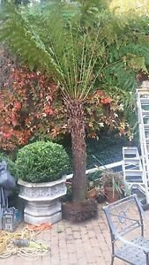 Huge tree fern! and two more available. Toorak Stonnington Area Preview