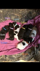 Purebred German Shorthaired Pointer Pups(Price reduced)