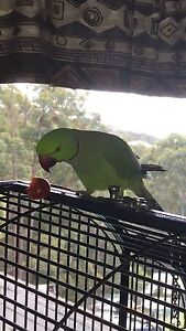 Mature Male Indian Ringneck Alberton Gold Coast North Preview