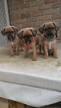 Georgeous Pugalier Puppies. Mum: Pure Cavalier, Dad: Pug Enfield Golden Plains Preview