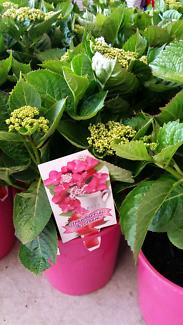 Hydrangeas Strawberry and Cream