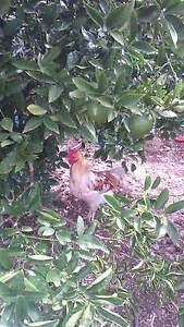 2 roosters forsale Owen Wakefield Area Preview