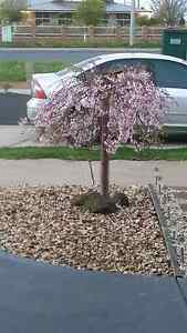 Pink Weeping Cherry Tarneit Wyndham Area Preview