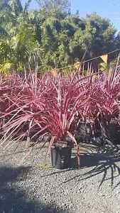 SALE CORDYLINE ELECTRIC PINK CLUMPING $49 CHEAP GOLD COAST NURSER Mudgeeraba Gold Coast South Preview