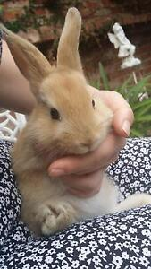 Baby Bunnie Rabbits for sale $30 fixed (only 1 brown male left) Glen Waverley Monash Area Preview