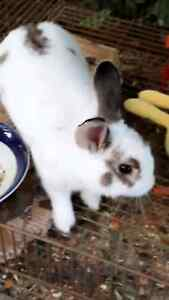 Male rabbit for sale Mill Park Whittlesea Area Preview