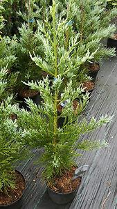 Sequoiadendron giganteum glaucum, blauer Mammutbaum 120-130cm, Bergmammutbaum