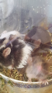 Pet/ feed mice for sale