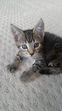 Kitten for sale Blacktown Blacktown Area Preview