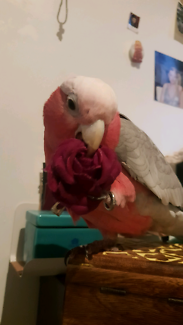 Lost bird galah ormond