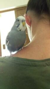 Friendly tame young budgie