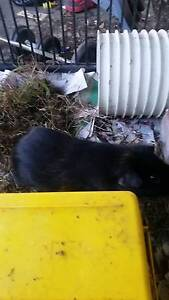 Male Guinea Pig $10 Revesby Bankstown Area Preview