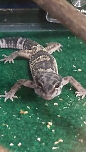 Leopard geckos for sale!!!!