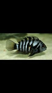 Convict cichlid for sale Liverpool Liverpool Area Preview