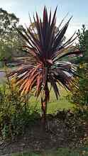 Cordyline plants cheap Eastwood Ryde Area Preview