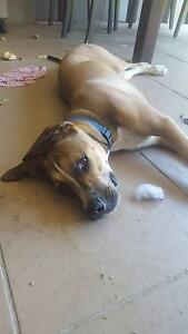 Boxer x staffy 7 months pup Scarborough Redcliffe Area Preview
