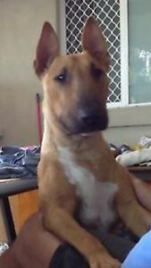 2 year old pedigree roman nose bull terrier Beenleigh Logan Area Preview