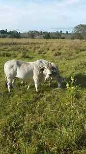 Brahman bull Glamorgan Vale Ipswich City Preview