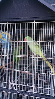 Missing alexandrine female  epping  Epping Whittlesea Area Preview