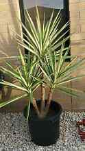 Beautiful 3 Headed Silver Leaf Yucca Plant Hoppers Crossing Wyndham Area Preview