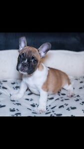 HIGH QUALITY FRENCH BULLDOG FOR SALE ONLY FEW LEFT