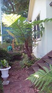Well Established Tree Fern Garden Plant Mount Pleasant Wollongong Area Preview