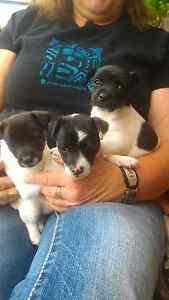 Pure bred mini foxie pups Forth Central Coast Preview