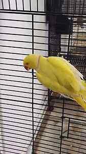 Ringneck parrot Fairfield East Fairfield Area Preview