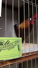 silky frizzle rooster Narromine Narromine Area Preview
