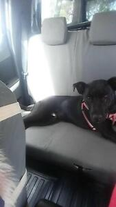 desperate new home needed for staffy cross boy Wagin Wagin Area Preview