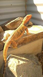 Bearded dragons - male and female Bushland Beach Townsville Surrounds Preview