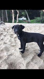 American Staffy X kelpie puppy Belmont Lake Macquarie Area Preview