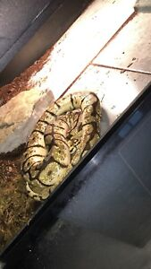 Male Ball Pythons for SALE or TRADE