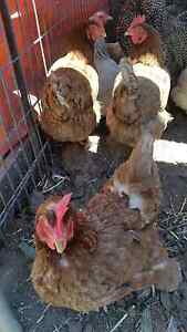 Laying hens $25 each or  buy 5 for $100 Adelaide CBD Adelaide City Preview