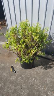 HUGE potted succulent