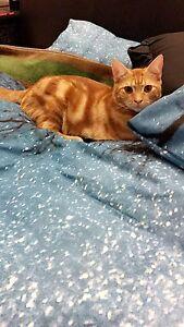 Kitten Tenambit Maitland Area Preview