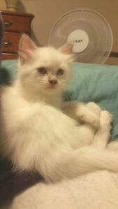 Lilac Ragdolls available for their new home Cranebrook Penrith Area Preview