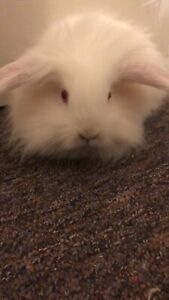 White lion head bunny for sale