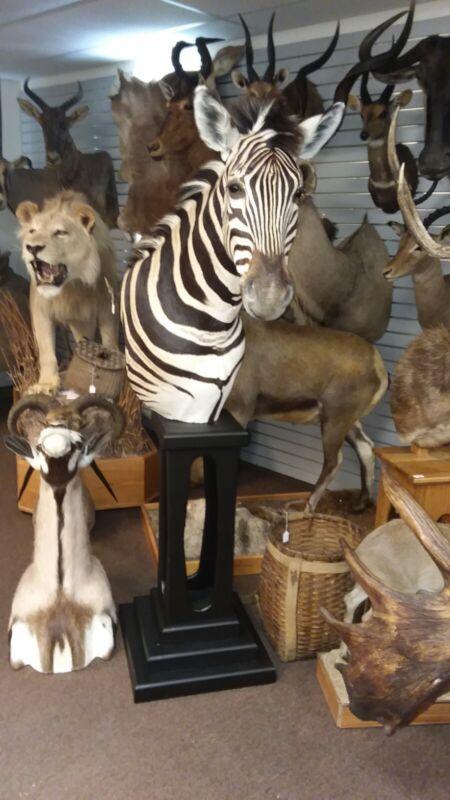 Gorgeous Zebra pedestal Mount Taxidermy New Holland PA