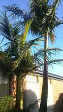 Established palm tree Beaconsfield Cardinia Area Preview