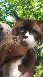 Pure bred male Bi-coloured Chocolate Ragdoll Clarence Town Dungog Area Preview