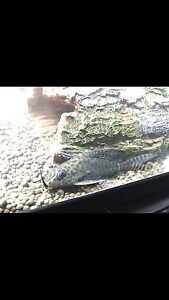 Feather fin catfish. Gympie Gympie Area Preview