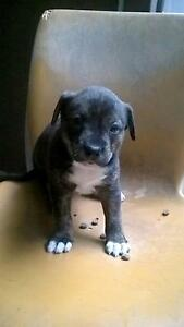 Staffy Cross cattle Pups For Sale Ingleburn Campbelltown Area Preview
