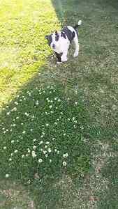 staffy x mastiff pup New Lambton Newcastle Area Preview