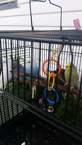 Baby budgies for sale Chigwell Glenorchy Area Preview