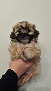 Maltese Shihtzu Puppies Osborne Park Stirling Area Preview